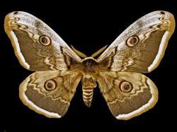 Největším evropským motýlem je martináč hrušňový. Líbí se mu i u nás na jihu Moravy a Slovenska. Kredit: Didier Descouens, Wikipedia