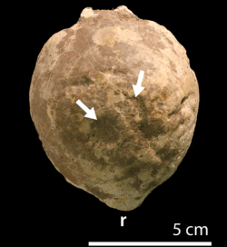 Fosilie dochované lebeční kupole sférotola (katalogové označení AMNH 0044). Šipky ukazují na místa s viditelným poškozením povrchu tohoto lebečního útvaru, které mohou být dokladem pro vnitrodruhové zápolení (srážení hlavou) u těchto dinosaurů. Kredit: Peterson et al. (PLoS ONE); Wikipedie (CC BY 2.5)