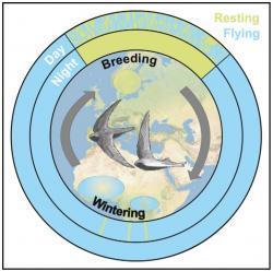 Grafické znázornění jak tráví svůj čas během roku rorýs obecný. Žlutě je vyznačena doba, kdy pták není v pohybu, modře doba kdy letí. Nahoře je doba kdy pobývá na severu a hnízdí. Modře je znázorněn čas kdy létá. Pouze tři malé žluté čárky na siluetě Afriky ukazují na tři zastávky v letu. (Kredit: Hedenström, et al.: 2016)