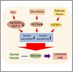 Leukemické buňky se zmocňují hostitelovy glukózy tak, že v tukové tkáni navodí produkci proteinu IGFBP1 a sníží tak citlivost buněk zdravých tkání na inzulin. Následky na sebe nenechají dlouho čekat. Dochází k dysbióze,  změnám v mikrobiomu a produkci toxinů pronikajících do celého organismu a spoučtějících systémový zánětlivý proces. Klesá produkce inzulinu a stav v mnoha ohledech připomíná progresivní diabetes. Konečnou fází je celkový rozvrat homeostáze. Kredit: Haobin Ye.