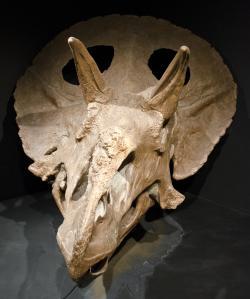 """Exemplář MOR 1122, jedna z největších dosud objevených lebek rohatých dinosaurů. Patřila druhu Torosaurus latus, který je s potvrzenou mírou 277 cm (u druhého exempláře ve sbírkách Museum of the Rockies) v současnosti absolutním """"rekordmanem"""", pokud bereme v potaz jen kvalitněji dochované fosilní lebky. Kredit: Tim Evanson; Wikipedie (CC BY-SA 2.0)"""