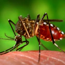 Kom�r Aedes aegypti. Kredit: James Gathany / CDC.