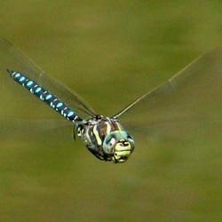 Samec šídla sítinového. Kredit: Jensbn / Wikimedia Commons.