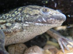 Drápatka vodní (Xenopus laevis) (Krefdit: Kredit: Peter Halasz, Wikipedia)