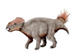 """Rekonstrukce přibližného vzezření ajkaceratopse. Nejbližšími známými příbuznými maďarského ceratopse byly menší asijské druhy, žijící o několik milionů let později na území dnešního Mongolska a Číny. O případném stádním chování ajkaceratopse nebo o jeho možném tělesném pokryvu v podobě """"štětinek"""" proto-peří bohužel zatím nemáme žádné přímé fosilní doklady. Kredit: Nobu Tamura; Wikipedie (CC BY-SA 3.0)"""