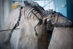 """Ačkoliv za nejrychleji běhající druhohorní dinosaury považujeme obvykle """"pštrosí"""" ornitomimosauridy, také v jiných vývojových skupinách dinosaurů najdeme opravdové sprintery. Například mladí jedinci tyranosaurida druhu Gorgosaurus libratus (jako je zobrazený fosilní exemplář ROM 1247) pravděpodobně dokázali vyvinout rychlost přes 40 km/h (podle některých odvážných odhadů pak dokonce až 58 km/h). Kredit: Mark; Wikipedie (CC BY 2.0)"""