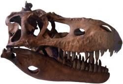 Lebka tyranosaurida druhu Albertosaurus sarcophagus vykazuje nápadnou podélnou rýhu na spodní čelisti. Podle závěru nové studie byla vyplněna senzorickými buňkami, umožňujícími dravému dinosaurovi dokonale vnímat směr proudění vzduchu a vystopovat tak snáze kořist. Kredit: FunkMonk, Wikipedie (CC BY-SA 3.0)