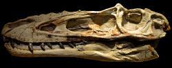 Velmi podlouhlá a nízká lebka aliorama připomíná lebky mláďat velkých tyranosauridů, druhů Tyrannosaurus rex a Tarbosaurus bataar. Alioramus je ale nepochybně samostatný rod (a nikoliv například mládě tarbosaura), což dokazují četné významné odlišnosti v anatomii jeho lebky. Snímek exponátu pochází z Wyoming Dinosaur Center ve městě Thermopolis. Kredit: Clément Bardot, Wikipedie (CC BY-SA 3.0)