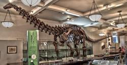 Rekonstruovaná kostra druhu Brontosaurus excelsus (AMNH 460) v expozici Amerického přírodovědného muzea v New Yorku. V roce 1995 byl skelet rekonstruován do moderní pozice s anatomicky správnějším držením těla. Tento sauropod patřil spíše do střední velikostní kategorie, ačkoliv vážil tolik, co tři až čtyři dospělí sloni afričtí. Kredit: ScottRobertAnselmo; Wikipedie (CC BY-SA 3.0)