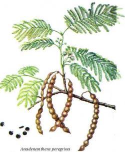 Anadenanthera peregrina - nejznámější zdroj 5-MeO-DMT. Ze semen tohoto stromu se vyrábí šňupací prášek užívaný jihoamerickými indiány.  Kredit: Wikimedia, Commons CC BY-SA 3.0