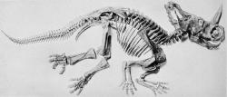 """Fosilní kostra centrosaura, popsaná původně jako """"Monoclonius nasicornus"""". Centrosauři byli středně velcí ceratopsidi, dosahující délky v rozmezí 5 až 6 metrů a hmotnosti zhruba do 2,5 tuny. Žili v době před 76,5 až 75,5 miliony let a byli velmi početnou součástí tehdejší dinosauří megafauny na území kanadské Alberty. Jak ukázal nový výzkum, nevyhýbaly se jim ani zhoubné nemoci. Kredit: Internet Archive Book Images; Wikipedie (volné dílo)"""