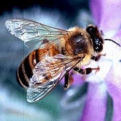 FAO: ... mezi lety 1961 až 2013 knárůstu počtu ohospodařovaných včelstev o více než 60 %.