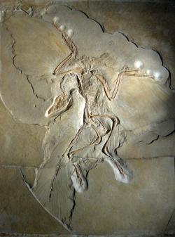 """Jedna z nejslavnějších zkamenělin vědecké historie, """"berlínský exemplář"""" druhu Archaeopteryx lithographica. Tento malý pozdně jurský teropodní dinosaurus byl opeřený, teplokrevný a v době svého objevu v roce 1874 by si ho s dinosaurem ještě nikdo nespletl. Přesto už v té době o vývojové souvislosti mezi ptáky a teropodními dinosaury pojednával britský přírodovědec Thomas Henry Huxley. Kredit: H. Raab; Wikipedie (CC BY-SA 3.0)"""