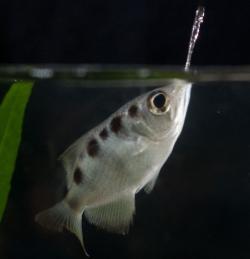 Tropické rybky rozlišují lidské tváře.Je to poprvé, co se u ryb takovou schopnost podařilo prokázat. (Kredit: Shelby Temple)