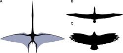 Silueta obřího ptakoještěra vedle siluet kondora andského (dole) a albatrosa stěhovavého (nahoře). Velikost všech tří letců není ve správném měřítku, ptakoještěr měl rozpětí přibližně 3,5krát větší než oba ptáci. Kredit: Mark Witton a Darren Naish, PLoS ONE (CC BY 2.5, Wikipedie)