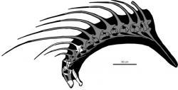 Rekonstrukce bachadasaura. Bílou barvou je označený materiál, který se dochoval (převzato a upraveno z práce Galliny a kol., 2019; CC BY 4.0).