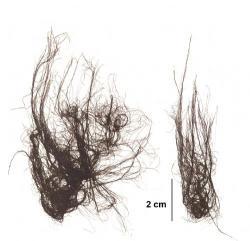 Bangia je mnohobuněčný fotosyntetizující organismus – rostlina. (Kredit: SOA)
