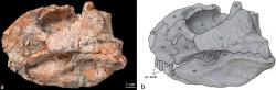 Fosilie lebky druhu Beg tse a její schematický nákres v původní popisné studii. Lebka tohoto malého neoceratopse by byla v kompletním stavu dlouhá zhruba 14 centimetrů, celková délka těla dinosaura pak nepřesahovala zhruba rovný metr. Jednalo se tedy o drobného býložravce o velikosti psa. Kredit: Yu et al. – Yu, Congyu (2020); Wikipedie (CC BY 4.0)