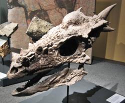 """Rohatá lebka stygimolocha dokládá, že jeho vědecké jméno není zcela nepatřičné. Tento dinosaurus navzdory svému zřejmě """"mírumilovnému"""" životnímu stylu stádního býložravce působil na pohled jako nebezpečné a poněkud strašidelné stvoření. Zde exponát rekonstruované lebky v expozici Přírodovědeckého muzea v Berlíně. Kredit: LoKiLeCh, Wikipedie (CC BY 3.0)"""