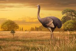 Evroský tisíciliberní ptačí gigant v podání umělce Andrey Atuchina. Porovnání nalezené kosti (femuru) s nohou pštrosa, si lze prohlédnout zde.  https://www.tandfonline.com/doi/full/10.1080/02724634.2019.1605521