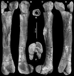 Zachované fosilie burianosaura v podobě levé stehenní kosti o délce asi 40 cm a několika dalších kostních fragmentů. Podle nového výzkumu patřily zástupci vývojově primitivní větve ornitopodních dinosaurů. Kredit: Fejfar et al. (2005), Wikipedie (CC BY 3.0)
