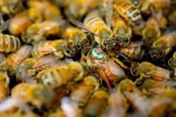 S takovým batůžkem na zádech se dá sledovat chování královny i po opuštění úlu. Kredit: Barbara Baer-Imhoff / UCR