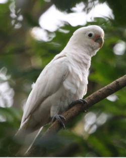 Kakadu goffinův (Cacatua goffiniana)je doma v souostroví Tanimbar v blízkosti Nové Guineje. Ze všech papoušků žije asi nejdéle, údajně až okolo 110 let. Možná proto, že umí ekonomicky myslet).  (Kredit: Lip Kee Yap, CC BY-SA 2.0, Wikipedia)