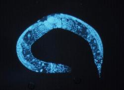 Háďátko obecné (Caenorhabditis elegans).