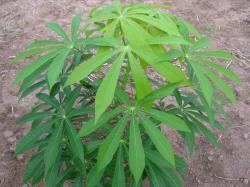 List manioku - Hořké kultivary s vyšším obsahem kyanogenních glykosidů odolávají lépe suchu. Kredit: Wikipedia CC BY-NC-ND 3.0