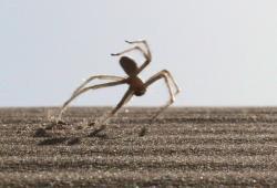 """Cebrennus rechenbergi, maročan jehož rotační pohyb připomíná artistická salta. Zvyšuje tím svou rychlost svého """"běhu"""" na dvojnásobek.  Kredit:  Ingo Rechenberg, Wikipedia."""
