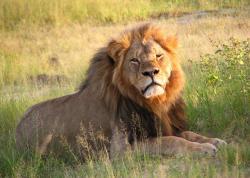 Lev Cecil, jehož zabití lovcem vyvolalo velké kontroverze. Kredit: Daughter#3 / Wikimedia Commons.