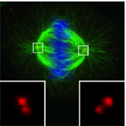 Dělící se savčí buňka. Modrá barvička obarvila DNA. Je to shluk chromozomů po jejich zdvojení, těsně před tím, než začnou putovat k opačným pólům buňky, aby se mohla rozdělit ve dvě s plnohodnotnou chromozomální sadou. Mikrotubuly dělícího vřeténka jsou obarveny zeleně. Centrioly jsou patrné až při větším zvětšení (viz červené útvary ve vyznačených čtvercích). V nedělících se buňkách se nachází pouze jeden pár centriol, tzv.centrosféra. Centrosféra a astrosféra představují centrosom (vřeténko). Před začátkem dělení buňky (konkrétně v S-fázi) se každá centriola zdvojí (replikuje) a v průběhu mitózy putují oba páry centriol na odvrácené póly buňky. Zde zastávají úlohu organizačních center pro vznikající dělící vřeténka.  Snímek byl přízen světelným mikroskopem.  Kredit: Gönczy lab.