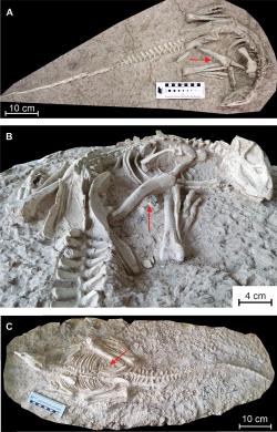 Fosilní kostry obou objevených jedinců druhu Changmiania liaoningensis. Tento malý ornitopodní dinosaurus pravděpodobně hledal útočiště v podzemních norách, které si sám vyhrabával. V břišní dutině obou kosterních exemplářů byly objeveny trávicí kameny (gastrolity), kterými si tito býložravci pomáhali při mechanickém zpracování rostlinné potravy. Kredit: Yuqing Yang, Wenhao Wu, Paul-Emile Dieudonné, Pascal Godefroit; Wikipedie (CC BY 4.0)