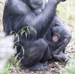 Od první chvíle, kdy si adoptivní šimpanzice Zombi vzala kojence do náručí, mazlila se s ním, jako by byl její vlastní. (Kredit: Monarto ZOO)