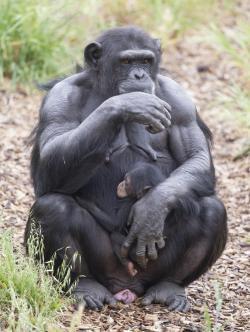 Asi za měsíc by měla Zombi porodit vlastního potomka.  (Kredit: Monarto ZOO)
