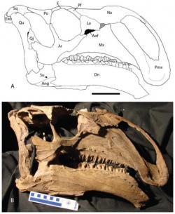 Lebka hadrosauroidního ornitopoda druhu Choyrodon barsboldii. Spolu s dalšími fosilními fragmenty byla objevena ve spodnokřídových vrstvách na území mongolské Gobi. Tito býložraví dinosauři žili před více než 100 miliony let a patřili ke středně velkým ornitopodům. Kredit: Terry A. Gates; Wikipedie (CC BY-SA 4.0)