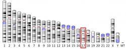 Adresa genu pro MPO: Chromozom č. 17.