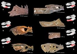Výrazné kruhovité léze identifikované na čelistech různých tyranosauridů, včetně holotypu druhu T. rex CMNH 9380 (A), jedince MOR 1125 (E) a MOR 980 (G) a dále jedinců druhu Albertosaurus sarcophagus (D) a Daspletosaurus torosus (B, C, F). Agresivní vnitrodruhové chování (včetně soubojů se smrtelným zraněním a případným kanibalismem) tedy bylo u vývojově vyspělých tyranosauridů pravděpodobně zcela běžným jevem. Kredit: Wolff, E. D. S.; et al. (2009); Wikipedie (CC BY 3.0)