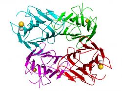 Concanavalin A je lektin z rostliny chlebovník. Nanočásticích propůjčuje funkci kotvy, kterou se přichycují k světločivným buňkám sítnice.