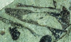 """Cooksonia pertoni. Fosilie má na výšku jen asi 12 mm. Pochází z vrstvy typu """"Pridoli"""". Lze si ji nyní prohlédnout v Národním muzeu ve Walesu.Kredit:  Diane Edwards"""