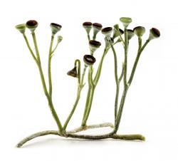 Průduchy měla již Cooksonia - nejjednodušší cévnatá rostlina. Její větvené stonky jsou zakončeny kulovitými výtrusnicemi. Rekonstrukce rostliny je z dílny Matteo De Stefano/MUSE Science Museumof Trento. Wikimedia Italia.
