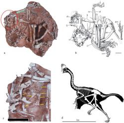 Skeletální diagram a snímky fosilie korytoraptora z popisné vědecké studie. Je patrné, že se dochoval téměř kompletní exemplář, a to ve velmi dobrém stavu. Tento teropod byl tvarem těla i velikostí značně podobný současnému kasuárovi přilbovému (Casuarius casuarius) z Austrálie a Nového Zélandu. Kredit: Lü et al. (2017); http://www.nature.com/articles/s41598-017-05016-6, Wikipedie(CC BY 4.0)