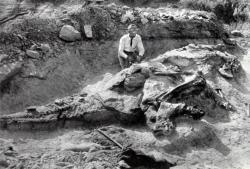 Vykopávky holotypu kachnozobého dinosaura druhu Corythosaurus casuarius. Právě podle tohoto typového exempláře jsou určováni a systematicky zařazováni všichni další fosilní jedinci korytosaurů. Budoucí hvězda expozice Amerického přírodovědeckého muzea s označením AMNH 5240 nabídla i zkamenělé otisky původní textury kůže. Kredit: William Diller Matthew; Wikipedie (volné dílo)