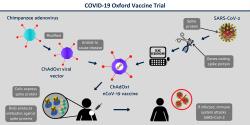 Schéma vývoje vakcíny ChAdOx1 nCoV-19. Kredit: Oxford University.