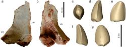 Kost lebky a virtuální model zubu teropoda druhu Vespersaurus paranaensis. Tento malý dinosaurus byl zřejmě aktuivním predátorem, lovícím menší obratlovce a příležitostně snad pojídajícícm i bezobratlé, vajíčka, části rostlin apod. Při velikosti německého ovčáka zřejmě nepředstavoval hrozbu pro větší živočichy, mohl ale ohrožovat mláďata některých dinosaurů a ptakoještěrů. Kredit: Langer, M. C.; et al. (2019). Wikipedie (CC BY 4.0)