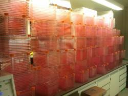 Pohled do laboratoře Marka Posta s malou částí kultivačních misek. Jsou vyrovnány do deseti vrstev a po dobu dvou let se v nich opakovaně v několikatýdenních intervalech množily buňky aby jich ve finále bylo dost na přípravu jednoho hamburgeru.Kredit: Daan Luining