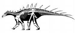 Kosterní diagram stegosaurida druhu Dacentrurus armatus, jednoho z vývojově nejbližších příbuzných nového marockého stegosaura. Dacentrurus byl však asi o 15 milionů let mladší a žil v období pozdní jury na území současné západní Evropy. Kredit: Jaime A. Headden; Wikipedie (CC BY-SA 3.0)