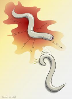 Červík (C. Elegans) vystavený sulfolipidům, které vylučuje jeho predátor (P. Pacificus). Rychle mění směr a volí úprk. Reakce je analogická lidskému strachu.Kredit: Amy Pribadi.