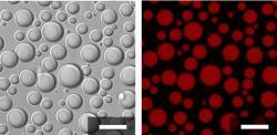10 jednotek dlouhý polymer kyseliny asparagové a 10 jednotek lyzinu vytvoří komůrky mající svou vlastní membránu. K jejich vzniku netřeba složitostí, vystačí si s jednoduchým a krátkým polymerem. Obrázek vlevo je z klasického světelného mikroskopu. Vpravo je obrázek z fluorescenčního mikroskopu. Pod  UV světlem je vidět, že Uvnitř komůrek tvořených primitivní membránou, jsou molekuly RNA. Prozradila je červená barvička (fluorescein), kterou vědci molekuly RNA obarvili. Tak zjistili, že jednoduchý polymer sám vytváří ve vodě něco, co je schopné oddělit vnitřní od vnějšího a spolu s RNA dát vznik jakési protobuňce. Kredit: Fatma Pir Cakmak, Penn State.