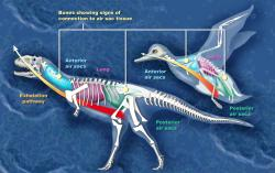 Porovnání systému tzv. vzdušných vaků u ptáků a neptačích teropodů, založený na rozmístění a podobě dutin v obratlích a dalších kostech (na obrázku kachna a pozdně křídový abelisaurid Majungasaurus z Madagaskaru). Také zmíněná anatomická specifičnost respiračního systému je tím, co obě skupiny úzce spojuje. Kredit: Zina Deretsky, National Science Foundation; Wikipedie (volné dílo)